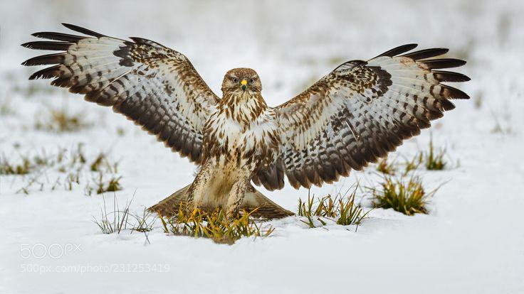 Common Buzzard (Roland Albanese / Winterthur / Schweiz) #Canon EOS-1D X Mark II #animals #photo #nature
