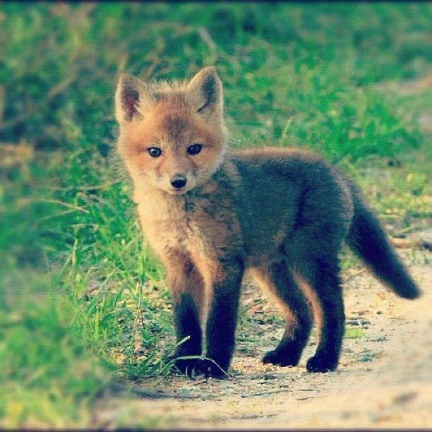 A wee fox cub #wildlife ha ha I did not change the caption on this repost<----me nether