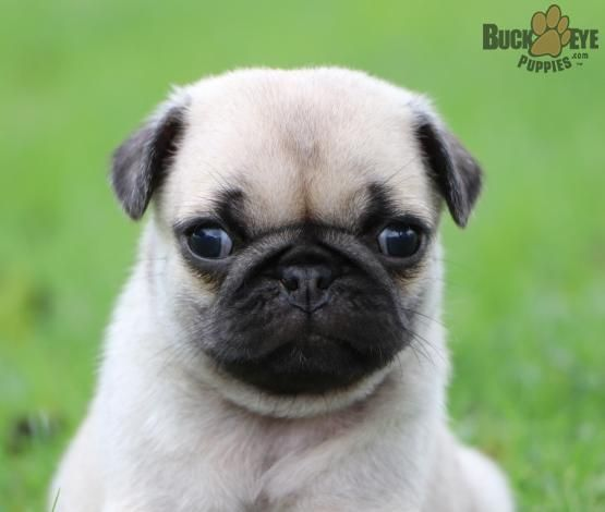 Cute Stuff Cute Animals Puppies Pug Puppies For