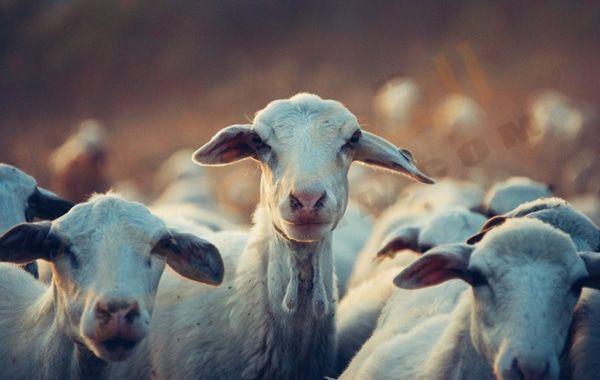 تفسير حلم رؤية الماعز في المنام معنى رؤية الماعز للحامل المتزوجة والعزباء تفسير الماعز الأسود الماعز المذبوح معنى الماعز البني Goats Large Animals Animals