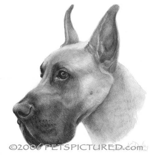 Great Dane - graphite portrait drawing