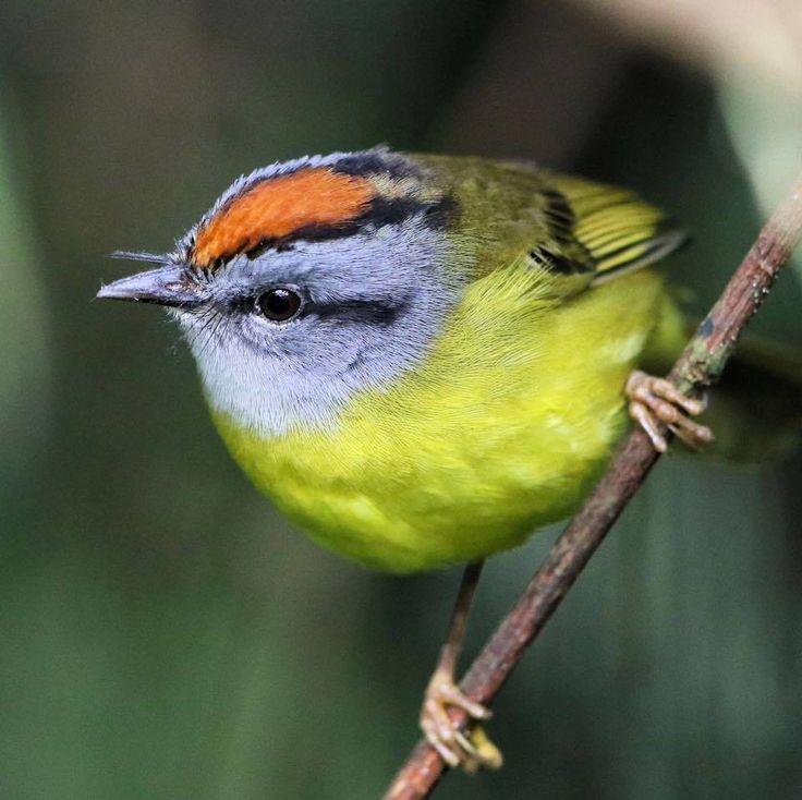 Russet-crowned Warbler, Myiothlypis coronata: BO/ CO/ EC/ PE/ VE