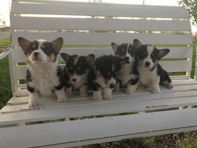 Akc Registered Corgi Puppies Corgi Welsh Corgi Puppies Puppies