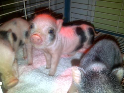 I want a miniature potbelly pig so bad!!