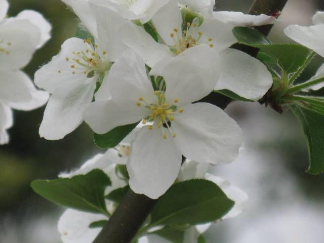 10月6日の誕生日の木は、秋に赤い小さな実をつける「ヒメリンゴ(姫林檎)」です。  バラ科リンゴ属の落葉高木。原産地は中国。日本では、北海道から本州の北陸地方にかけて分布していますが、伝来の時期は不明です。一説によると、中国原産の「イヌリンゴ」と日本で寒い地域に分布している「エゾノコリンゴ」との交雑種から生まれた説があります。 名前の由来は、リンゴに似た赤い小さな実が生ることによります。 ちなみに「林檎」の名前の由来は、「檎」=「家禽」⇒「禽」=「鳥」を意味し、実が甘いので林に鳥がたくさん集まったところから、「林檎」と呼ばれるようになったとのことです。「リンゴ」の読み方の由来は、「檎」を漢音で「キン」呉音で「ゴン」と読まれることから、「リンキン」や「リンゴン」などと呼ばれ、それが転じて「リンゴ」となったそうです。