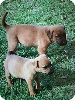 5/1/17 Manhattan, NY - Labrador Retriever/Black Mouth Cur Mix. Meet 8-weeks Lab/Black Mouth Cur Puppies (7 total!), a puppy for adoption. http://www.adoptapet.com/pet/18050514-manhattan-new-york-labrador-retriever-mix