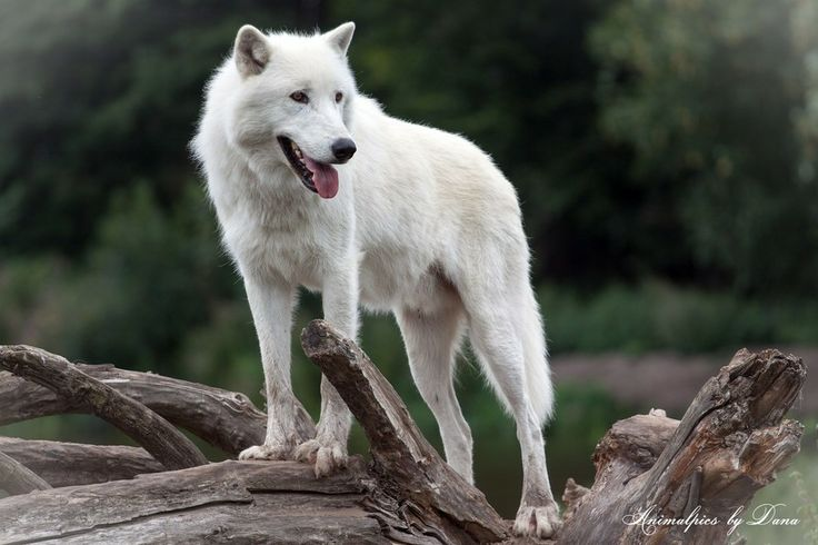 Arctic wolf (Canis lupus arctos) by Dana Kölmel on 500px