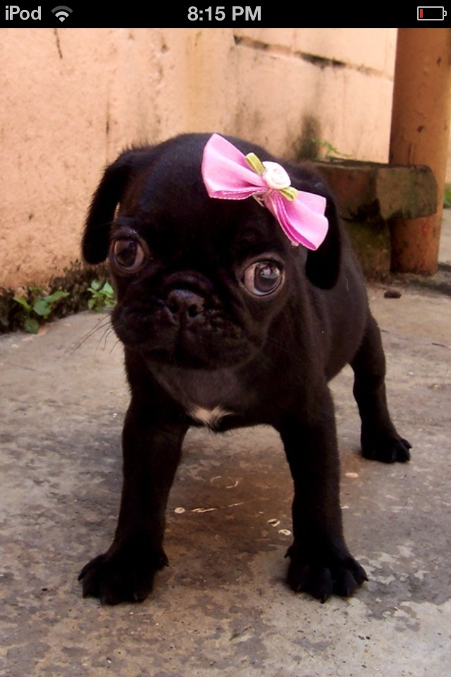 175 best Pugs images on Pinterest | Adorable animals ...