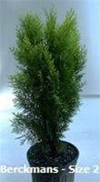 Thuja Orientalis 'Berckman's Gold' 6'tall and 3'wide  W