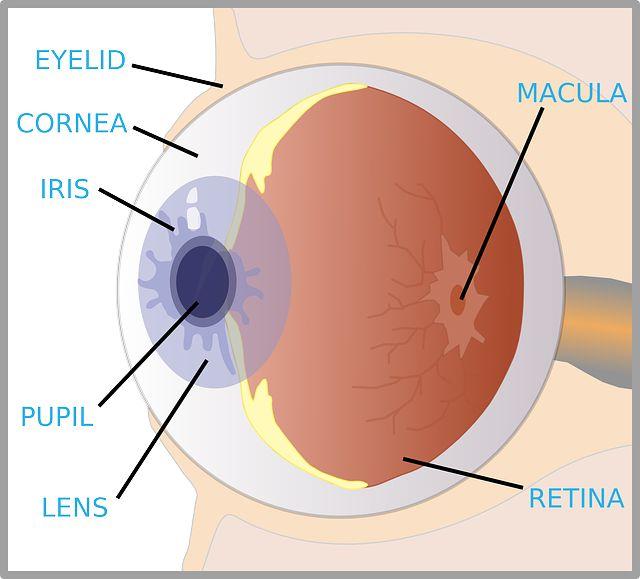 The Eye Diagram For Kids Human Eye Diagram Science Anchor Charts Fun Science