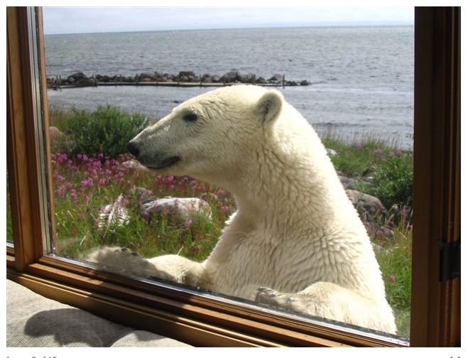 churchill wild in manitoba - caribous and bears and foxes and belugas and wolves!    http://www.churchillwild.com/index.cfm