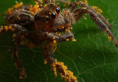 Veggie-eating spiders