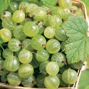 """Ribes Pixwell Gooseberry Fruit Plants. Garden Crossings Online Garden Center. Common Name: """"Gooseberry"""" 'Pixwell' fruit is soft, juicy, high in sugar. Rich, pink flesh in August when ripe. Vigorous, productive, practically thornless. Fruit in clusters on long slender stems. Self pollinating. Flower Color: Light Green Height: 4-5 Feet Spread: 3-4 Feet Hardiness Zone: 3-6"""