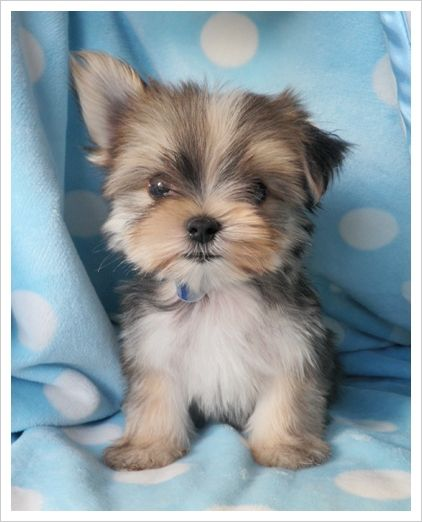 """""""Morkie"""" - Maltise Yorkie. We have one! Well... Ben has one and I love her!"""
