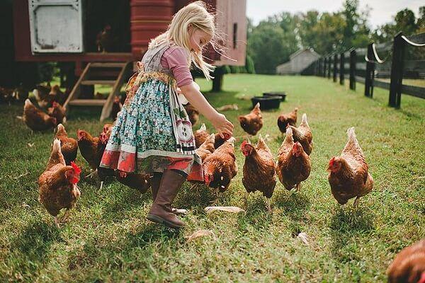 Режим и нормы кормления кур несушек и рацион для взрослых куриц. Сколько давать корма в сутки, меню и типы питания. Комбикорм, влажная мешанка, остатки
