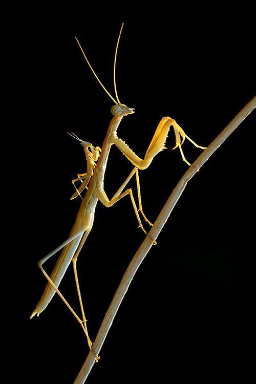 Mantis y su bebé... que bello
