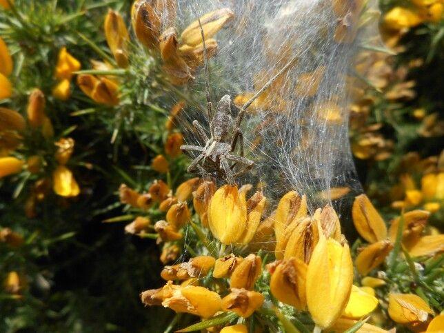 Spider on Gorse. Ardmore Cliffs. Co. Waterford