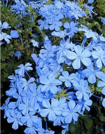 Plumbago. Drought tolerant; does well in full sun.