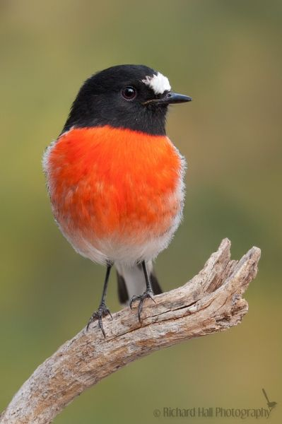 Scarlet Robin (Australia). The bird family Petroicidae includes roughly 45 species. All are endemic to Australasia. For want of an accurate common name, the family is often called the Australasian robins. Within the family the species are known not only as robins but as scrub-robins and flycatchers.