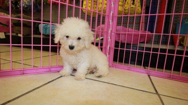 77 Bichon Poodle Mix For Sale In 2020 Bichon Poodle Mix Poodle Puppies For Sale Poodle Mix