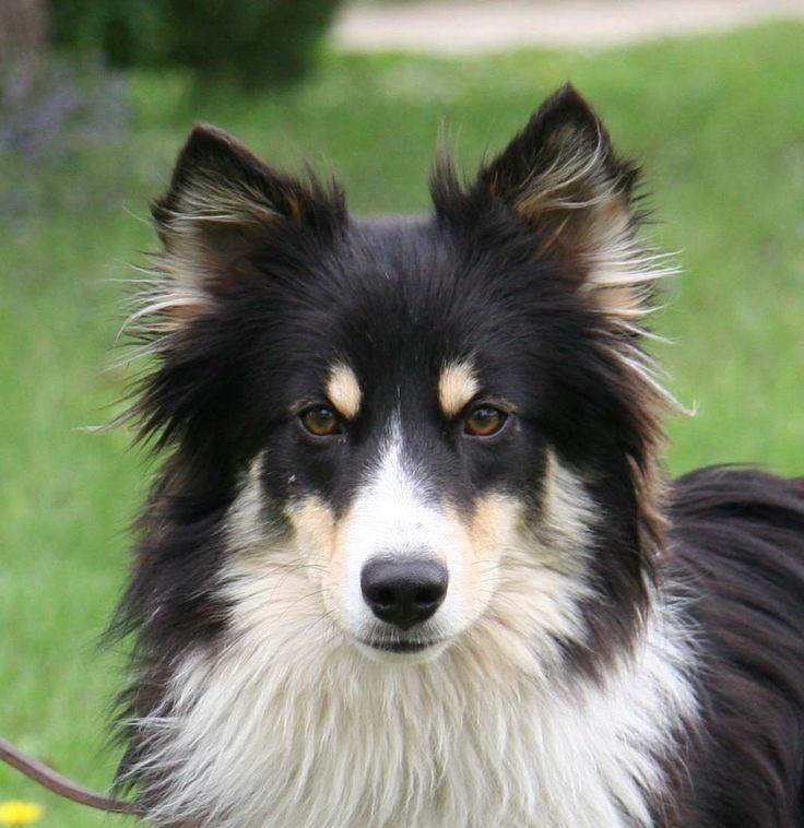 Sheltie Australian Shepherd Border Collie Mix Puppies Cute Dogs Breeds Domestic Dog