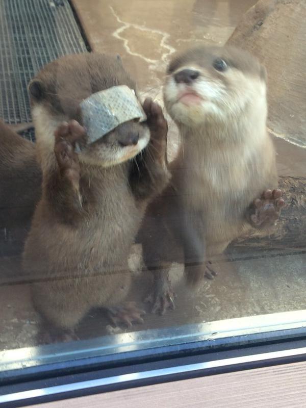 0 :ハムスター2ちゃんねる 2014年12月3日 0:00  ID:hamusokuあれ⁉︎前が見えない‼︎ (おやつの鮭の皮です)あれ⁉︎前が見えない‼︎ (おやつの鮭の皮です)#サンシャイン水族館 #カワウソ pic.twitter.com/EQU3hoO8Jb— muny (@muny_seaotter) 2014, 12月 26
