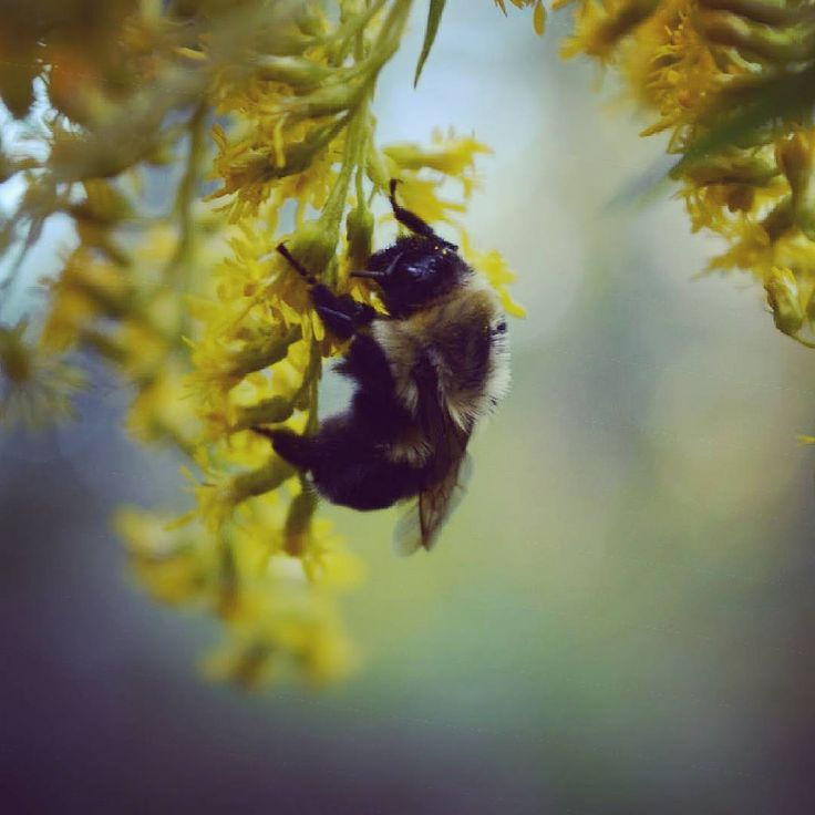 #bee #bumblebee #insect #bug #flowers #garden #gardening #outdoors #wildlifephotography #wildlife #macro #brantford #ontario #canada #goldenrodThese are my personal photos from Flickr!