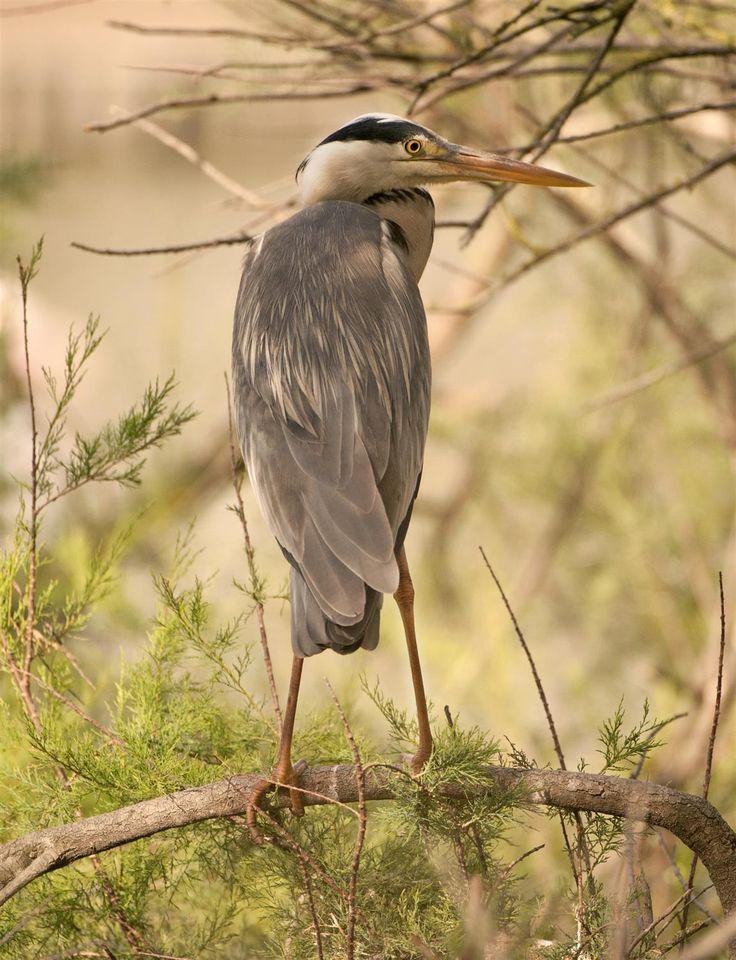Grey heron - Camargue 2014 -  #guidofrilli