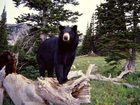 oso en arbolLa mayoría de estas especies de osos viven en el hemisferio norte, siendo la única excepción del oso de anteojos que vive en Amé...
