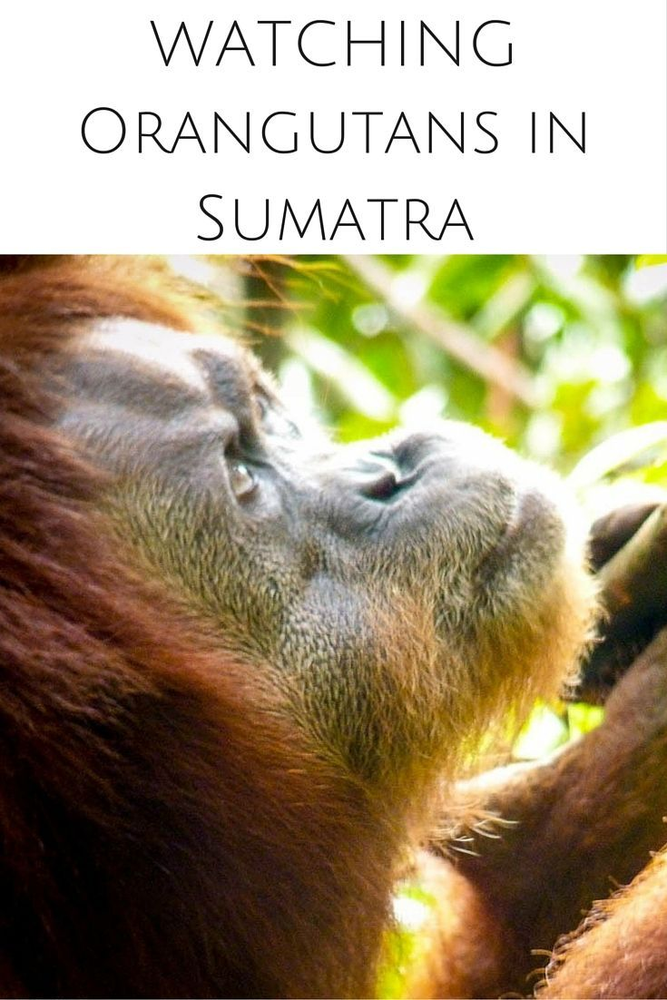 Sumatra is one of a handful places on earth where you can see Orangutans in the wild. Read about our magical experience with these beautiful creatures.