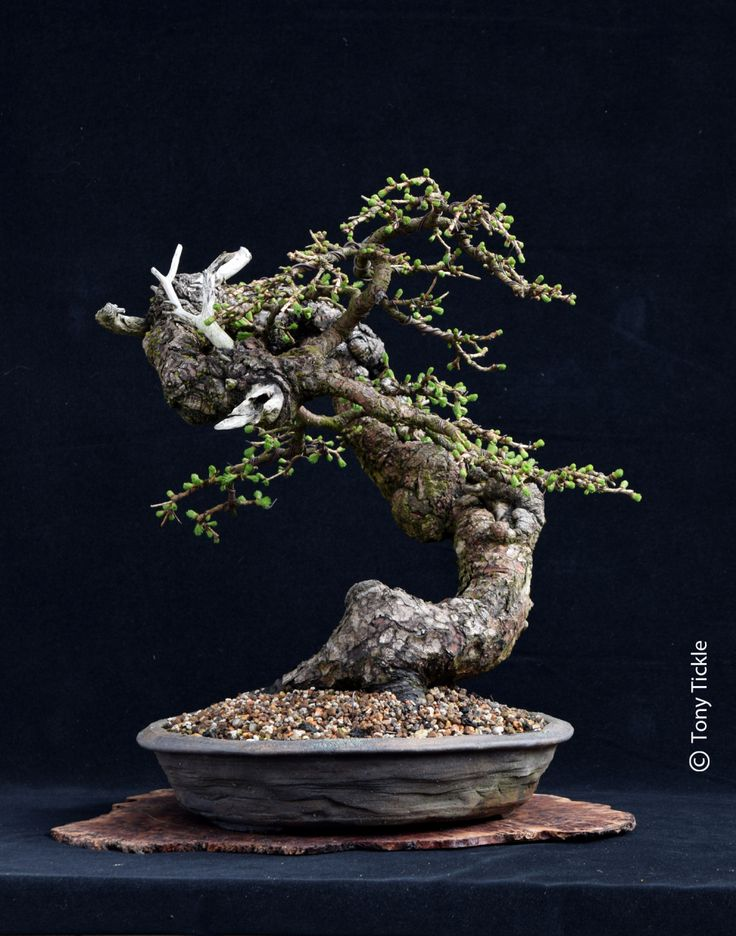Bonsai & Yamadori from Tony Tickle | My Life in Bonsai and Ancient dwarf trees
