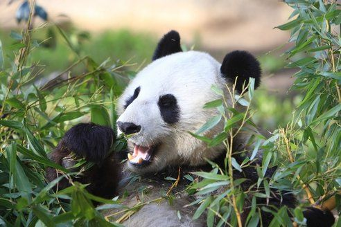 French zoo to generate its own electricity from panda poo!
