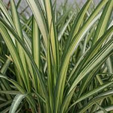 variegated new zealand flax