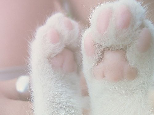 This is THE most adorable thing I have ever seen. Pure white fluffiness with  clean baby pink pads. BEAUTIFUL ❤