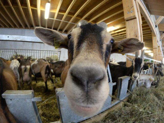 Visite à la chèvrerie. Photo : Mikaël Rouca