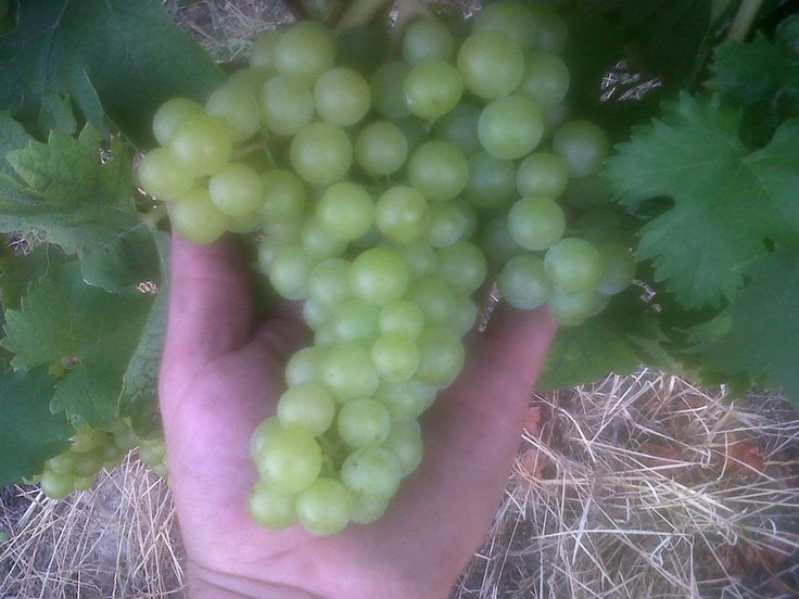 Bunch of muscat. Grappolo di moscato