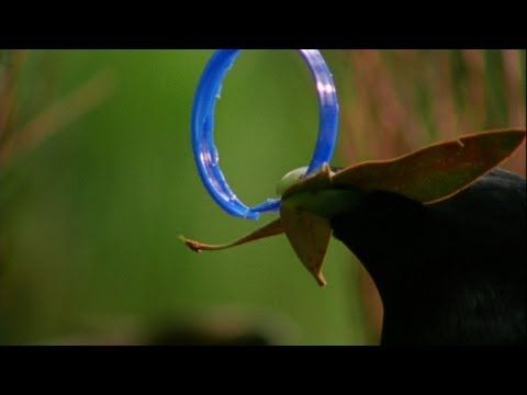Bowerbird. They steal blue things. So cute!