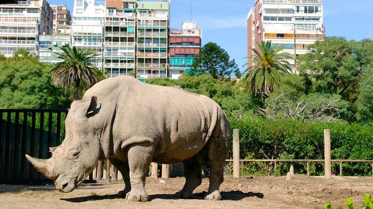 Este rinoceronte está en el zoo de Buenos Aires.  Se puede ver muchos animales allí.