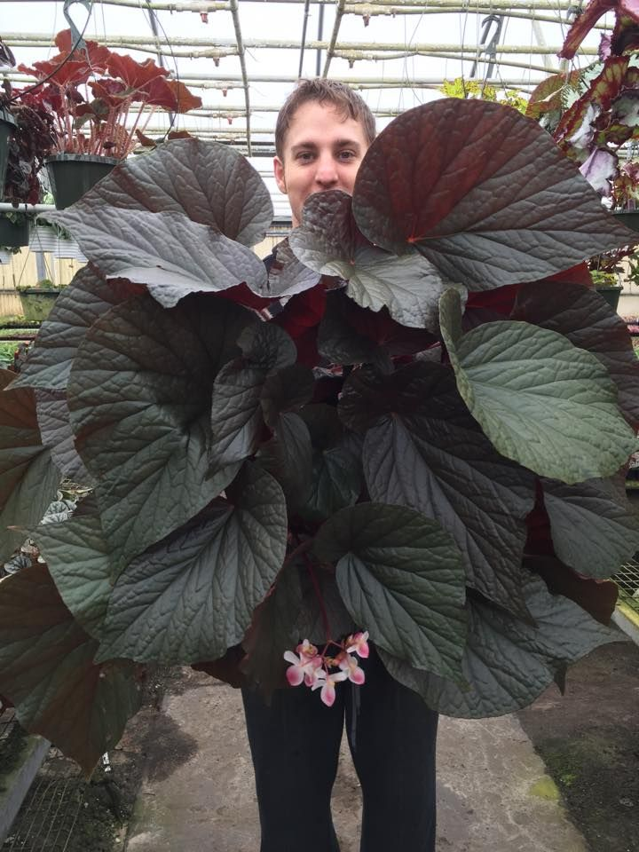 Harmony Begonia's U508