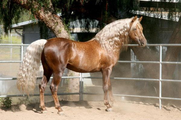 Sooty palomino Morgan stallion