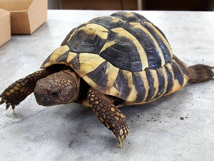 """0 Likes, 1 Comments - Jacobs Trading (@jacobstrading) on Instagram: """"Please meet the newest """"Staff Member"""" at the Winnipeg location! He is a Hermanns Tortoise and will…"""""""