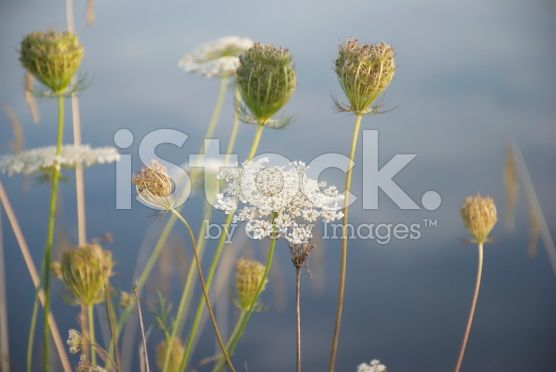 Queen's Anne Lace plant in Pastel Tones royalty-free stock photo
