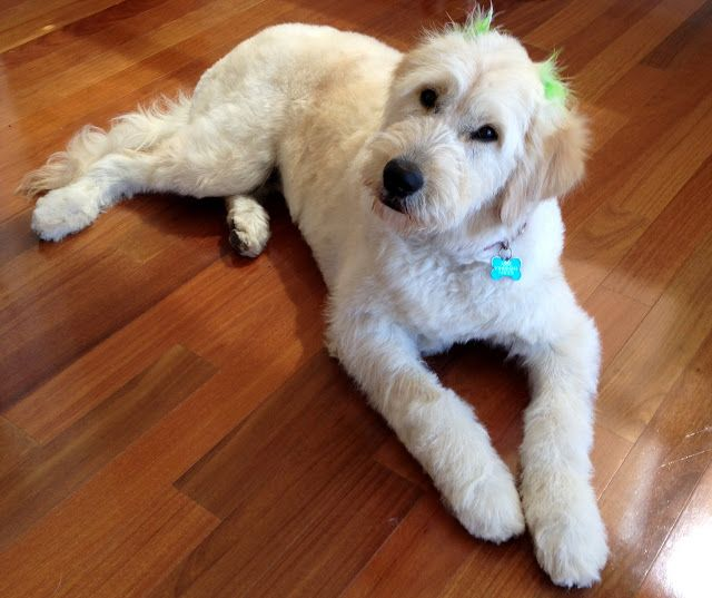 Haircuts For Goldendoodles Pictures: 17 Best Images About Goldendoodle On Pinterest