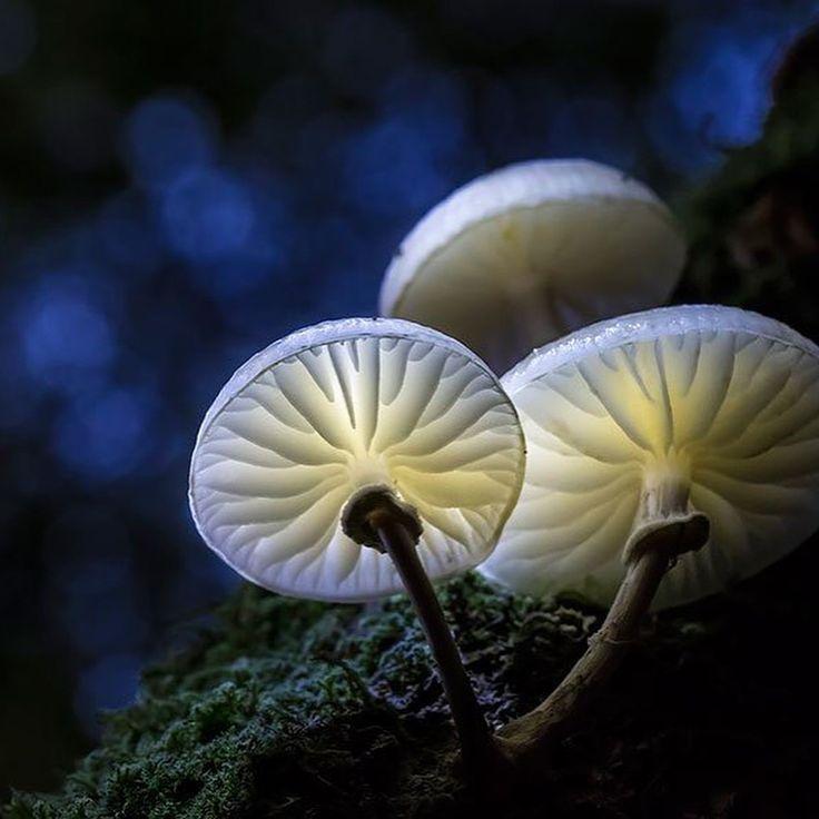 """Las #setas siempre han sido vistas como """"el patito feo"""" de la #naturaleza, pero estas imágenes muestran una realidad completamente distinta. Esta es uno de los ejemplares más hermosos y extraños que existen. lavozdelmuronet#setas #hongos #funji #naturaleza #curiosidades #especies #tipos #album #mushroom #fungus #nature #wild #curiosity #species #life #flora #octubre #october #natureart #photography #picoftheday #instagood #instamoment #instapic #bestoftheday #instadaily #instacool"""