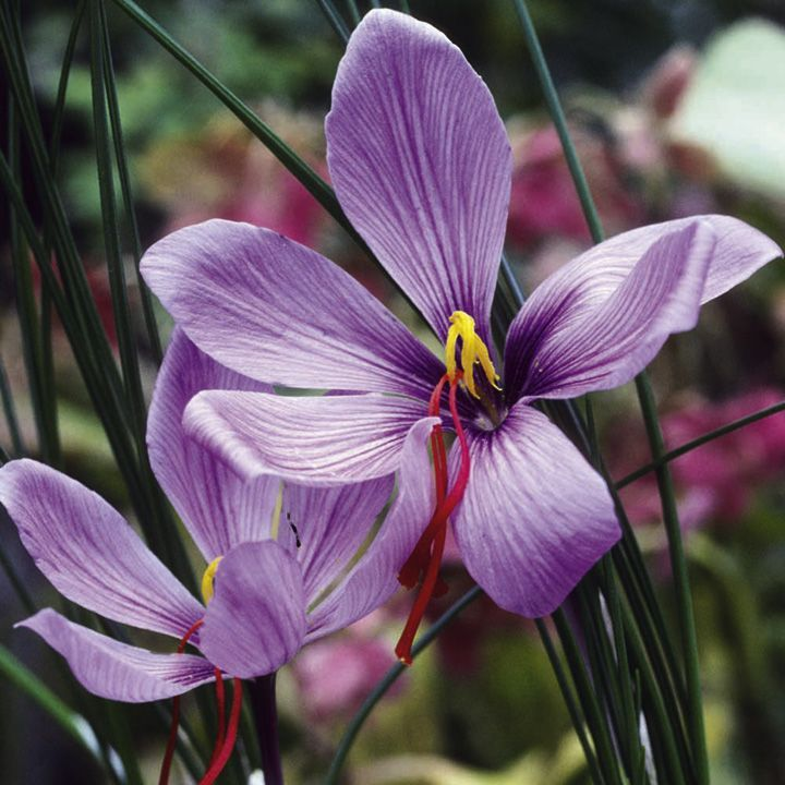 Saffron Crocus Growing Guide