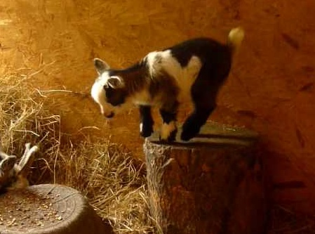 Pygmy goat! I must have one!!!