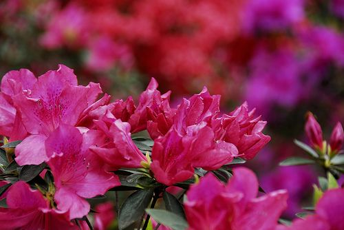 Azaleas Line the Number 16 Hole at Augusta National Golf Club in Augusta by marantzer, via Flickr