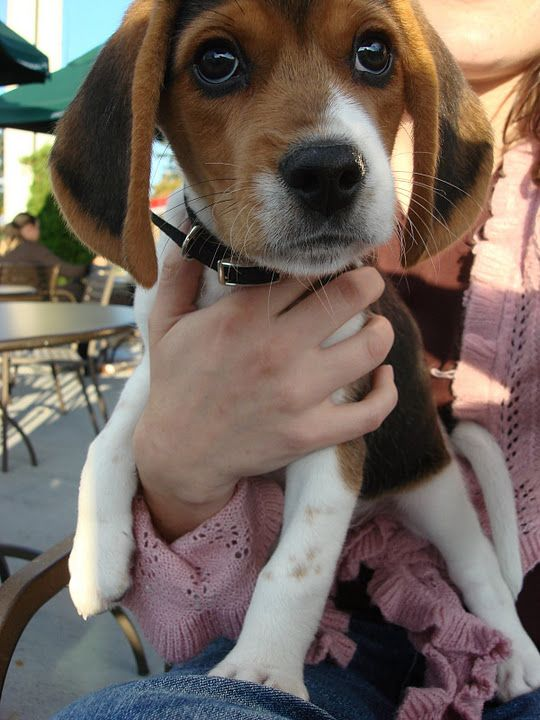218 best beagles images on Pinterest | Beagle puppy ...