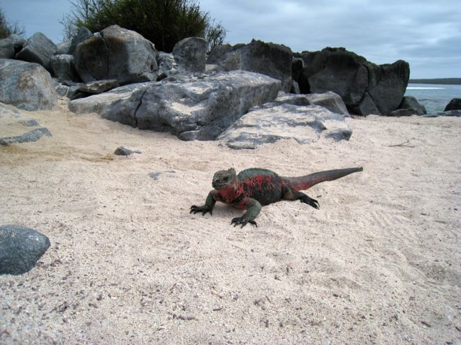 Extremely unattractive, yet surprisingly charming. That's the Galapagos iguana for you. #travel #kids #familyvacations #travelwithkids #familytravel #familyholidays #familytravel #beach #iguanas #Ecuador #galapagosislands http://www.suitcasesandstrollers.com/articles/view/the-galapagos-islands?l=s