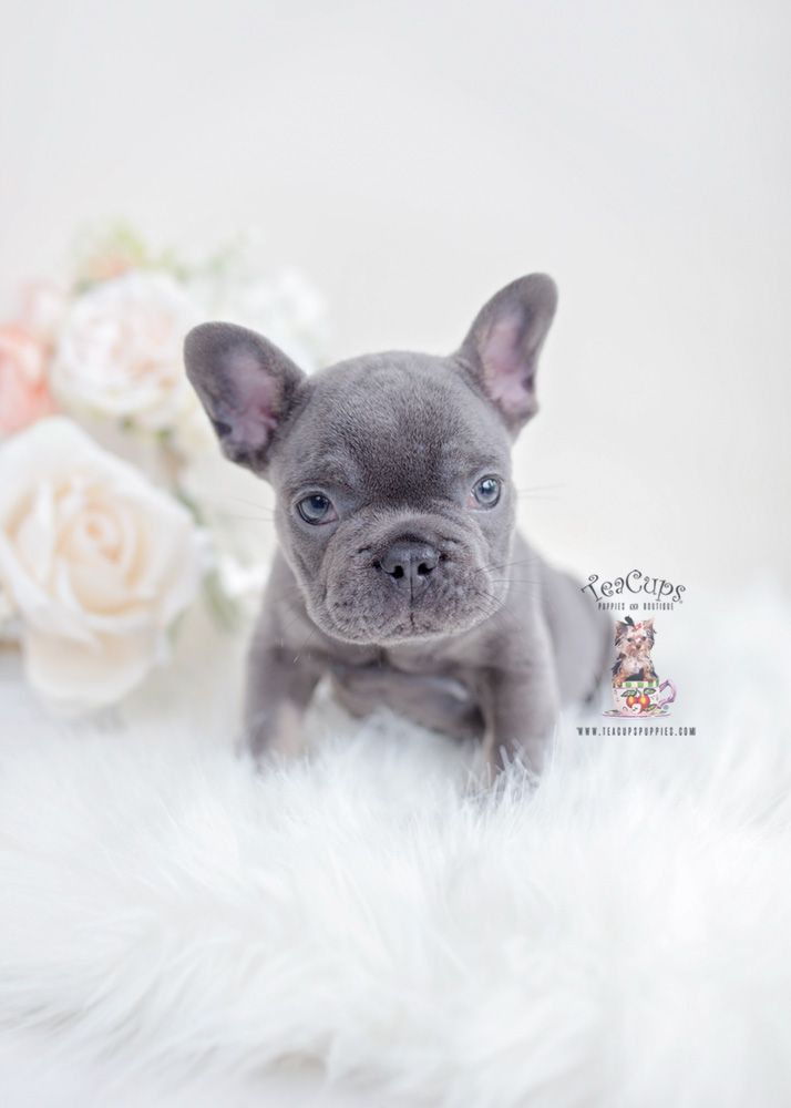 Blue Tan Frenchie Puppy For Sale Teacup Puppies 130 B Bulldog